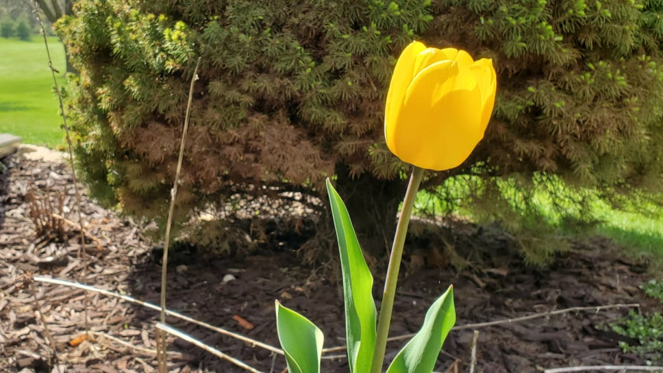 Yellow tulip at home.