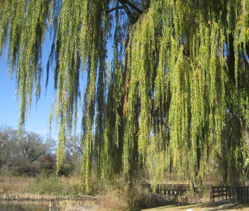 Huge weeping willow tree over bridge at Veteran Acres Park.