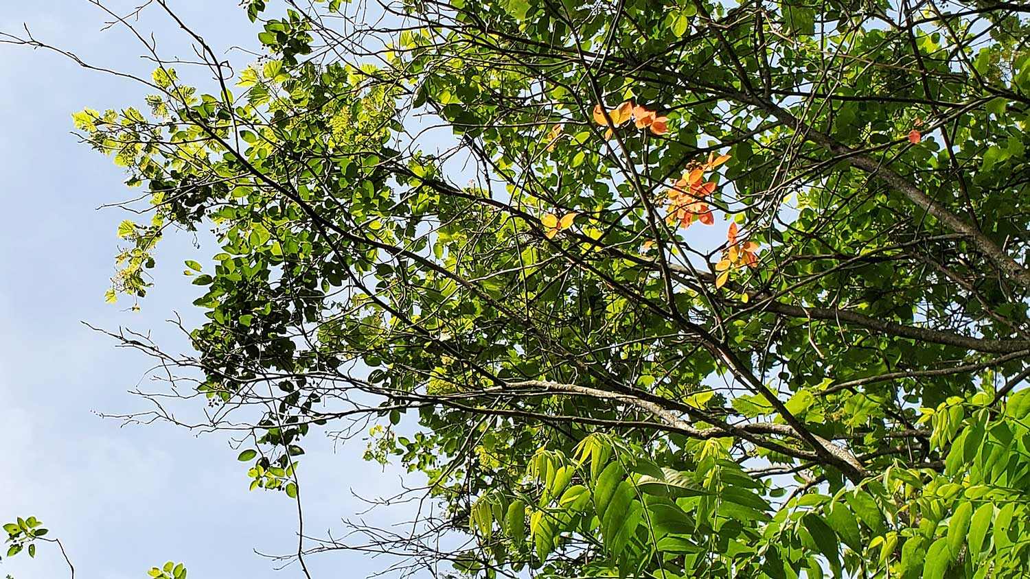 A few orange leaves against green leaves and blue sky, high up in the trees at Veteran Acres Park.