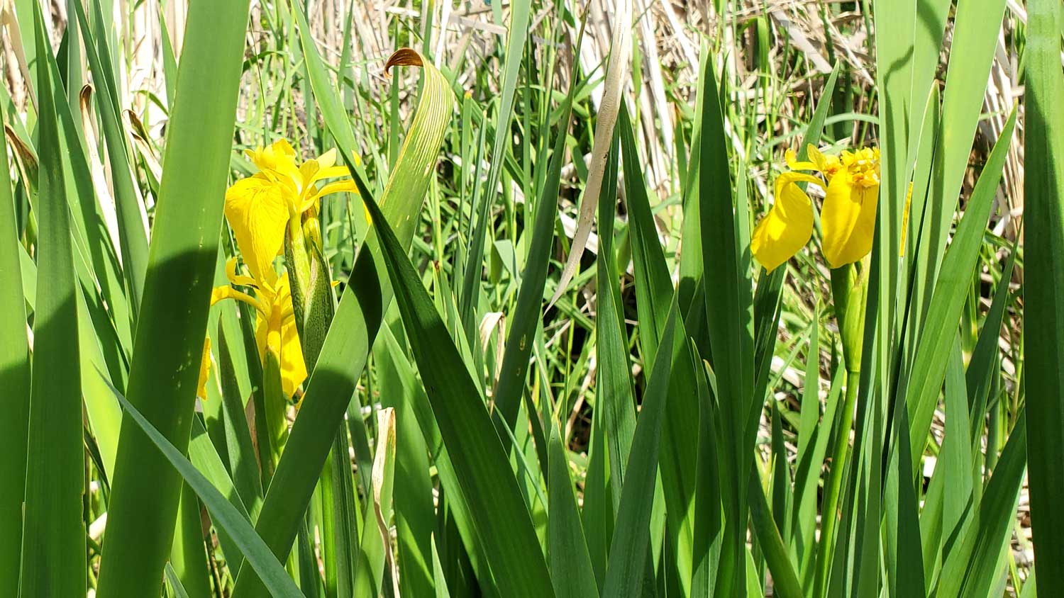 Pair of yellow flowers showing against green blades at Veteran Acres Park.