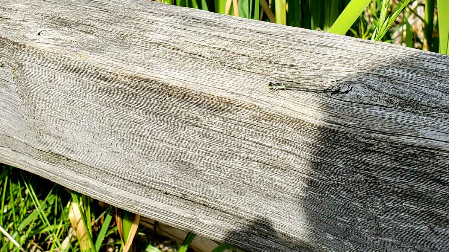 Tiny dragonfly on wooden fence rail at Veteran Acres Park.