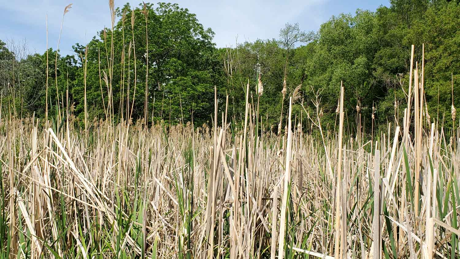 View through swampy reeds against backdrop of trees at Veteran Acres Park.