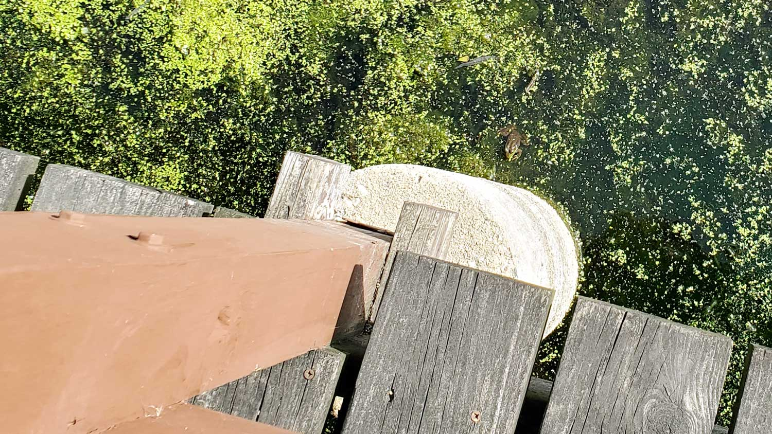 Looking down from wooden bridge at frog floating in pond at Veteran Acres Park.