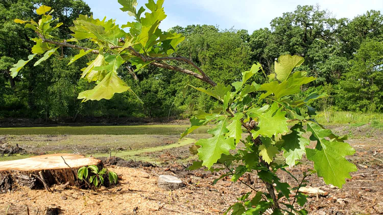 Lone oak tree left from tree removal along pond area at Veteran Acres Park.
