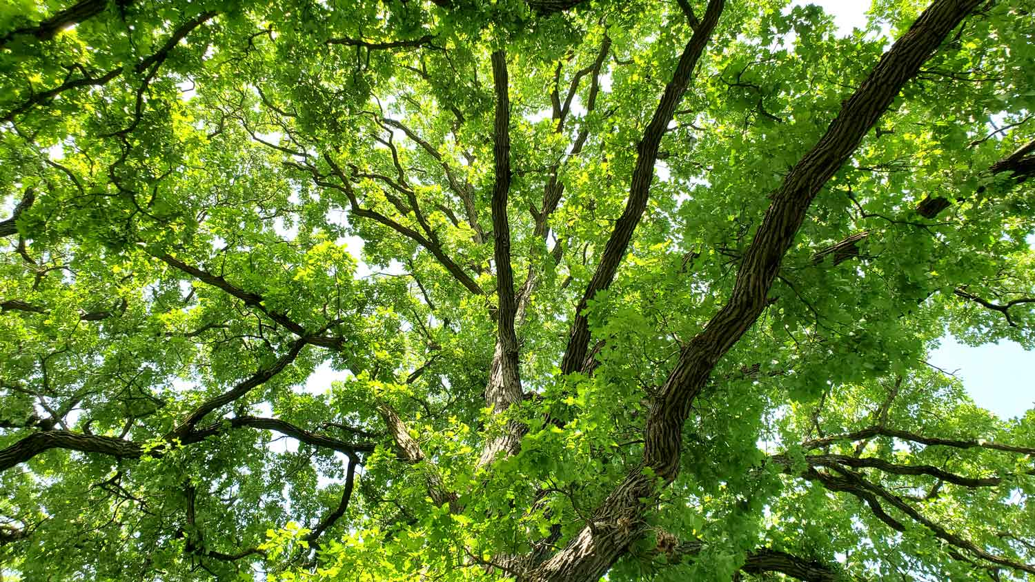 Looking up through tree branches along grassy path near pond at Veteran Acres Park.