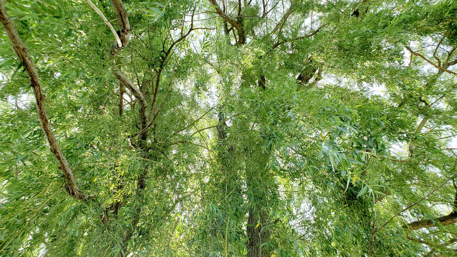 Looking up through weeping willow along pond edge at Veteran Acres Park.