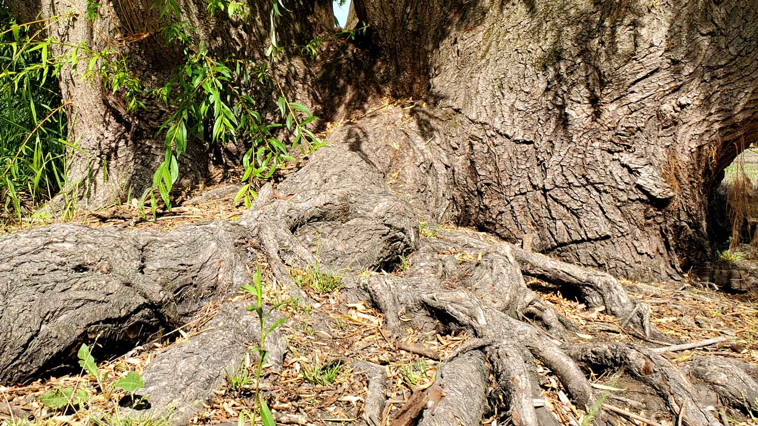 Tree base and exposed roots of weeping willow tree along pond edge at Veteran Acres Park.