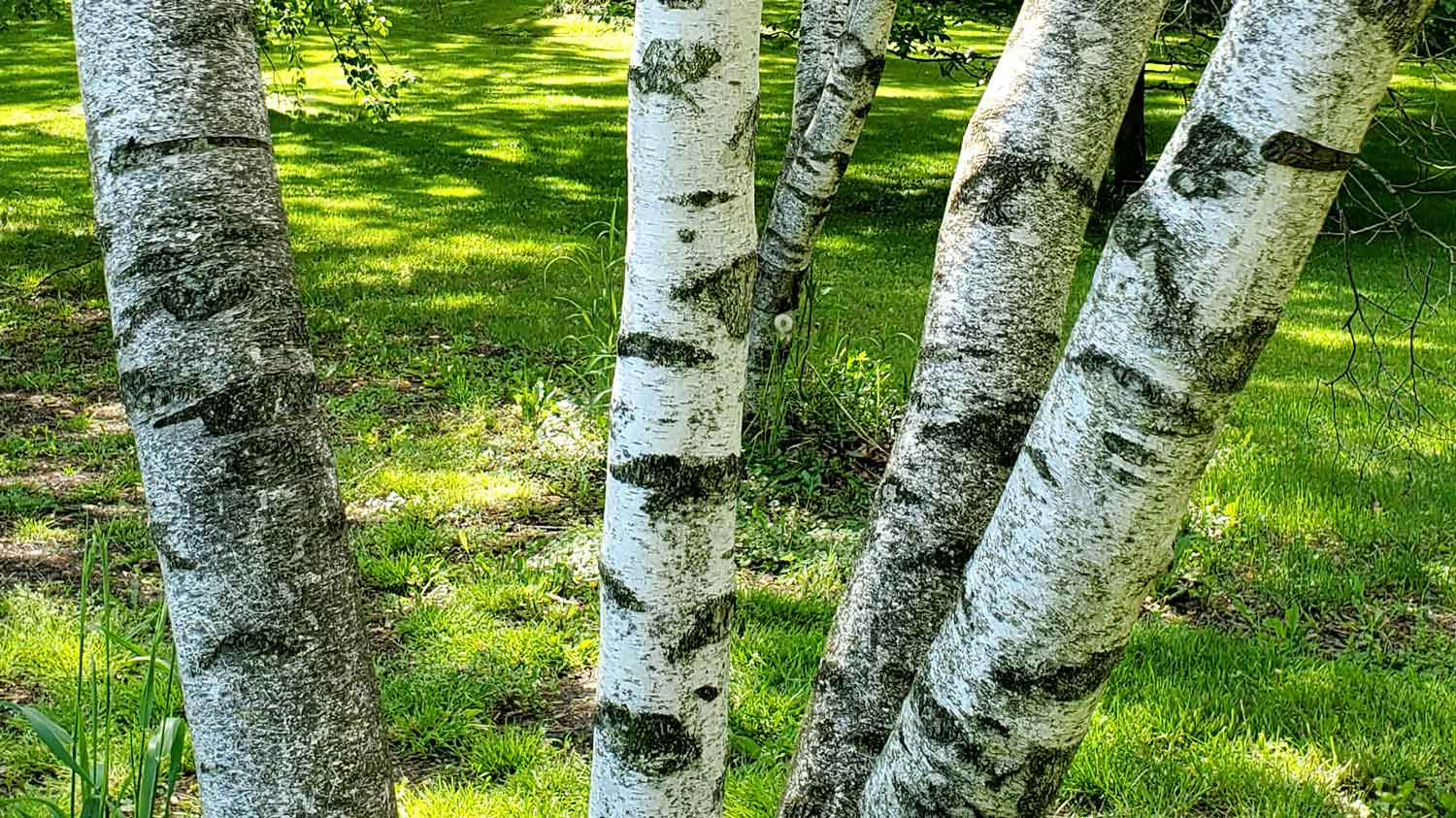 Trunks of birch trees along path around the pond at Veteran Acres Park.