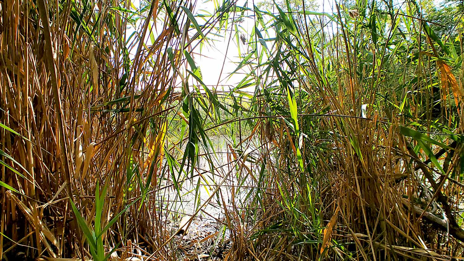A view through the reeds at The Hollows.