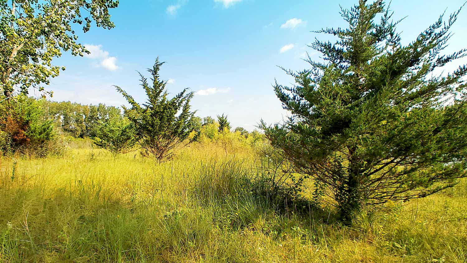 Evergreens among yellow-green grasses at The Hollows.