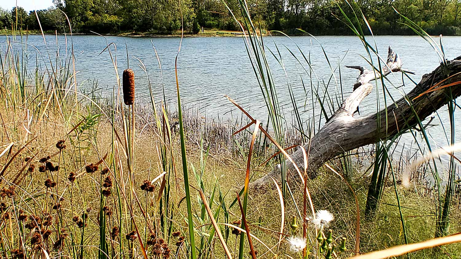 A single cattail at Lake Atwood at The Hollows.