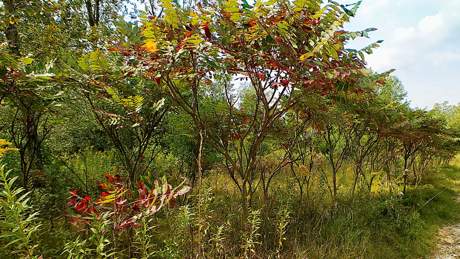 Line of red and green leaves at The Hollows.