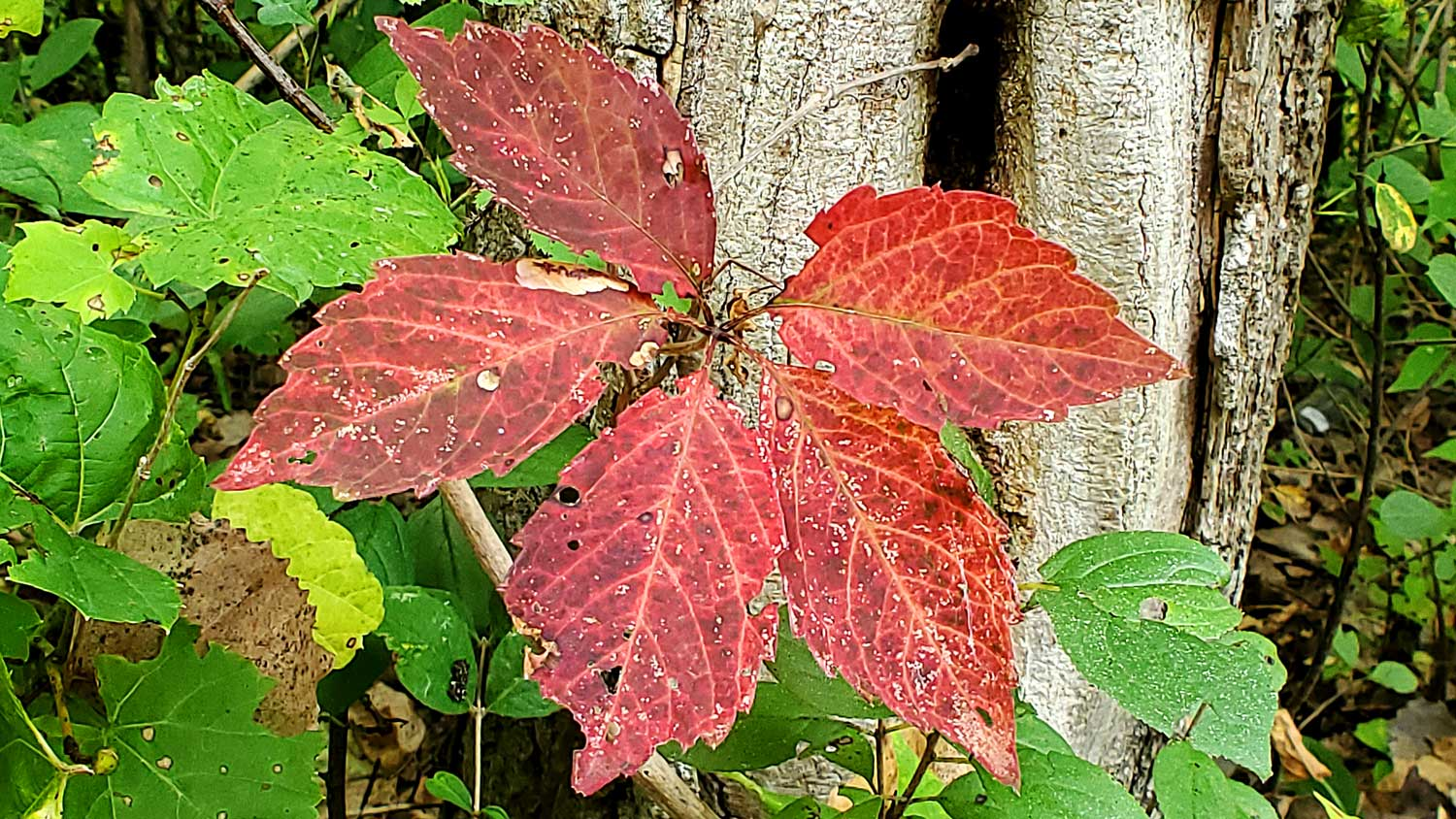 Red leaf at base of tree at The Hollows.