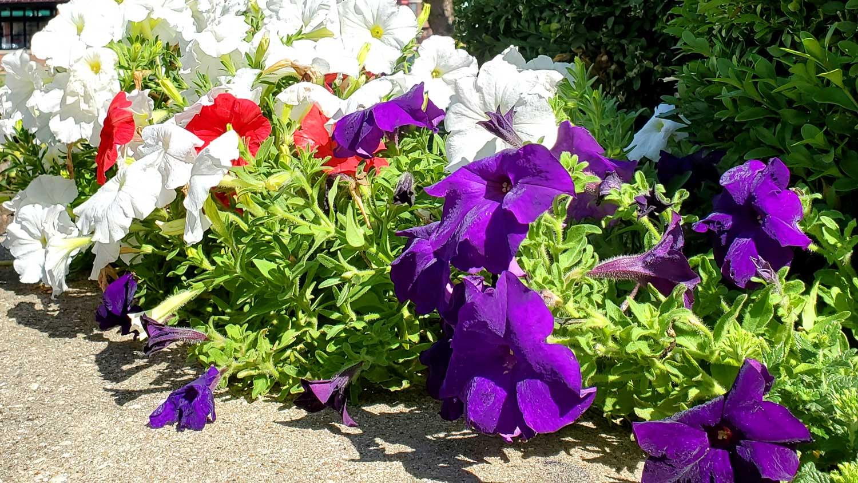 Purple, red, and white petunias.