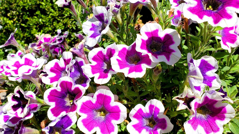 Violet and white petunias.