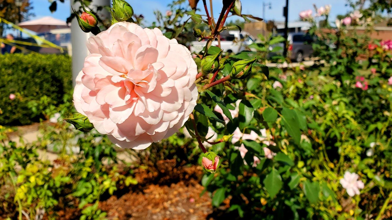 Pink wild rose.