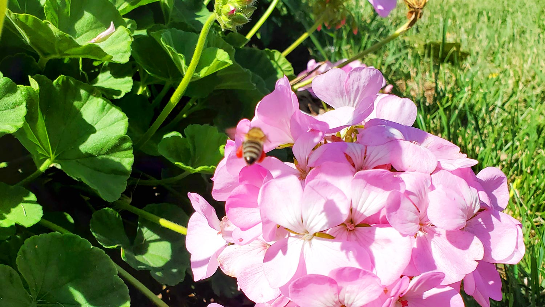 Bee on geranium.